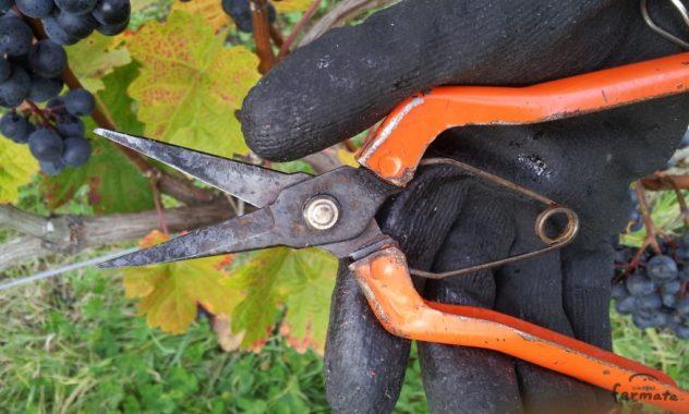 ワインぶどう収穫用の先の細いハサミ